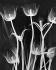 Radiographie de tulipes, 1935. © Koralle/Ullstein Bild/Roger-Viollet