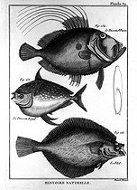 John Dory, royal fish and flounder. Treaty of ichthyology. Board 39. Diderot's Encyclopedia. 1788. © Roger-Viollet