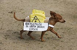 Teckel lors d'une manifestation anti-nucléaire. Berlin (Allemagne), 18 septembre 2010. © Ullstein Bild/Roger-Viollet