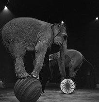 Circus. Elephants. France, circa 1950. © Gaston Paris / Roger-Viollet