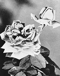 """Rose """"Madame Coty"""", médaille d'or. Paris, Bagatelle, 1954. © Jacques Boyer/Roger-Viollet"""