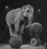 Elephants in a circus. France, circa 1935. © Gaston Paris / Roger-Viollet