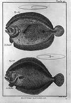 Lunula and turbot. Encyclopedia of Diderot. Engraving in late XVIIIth century. Treaty of ichthyology. © Roger-Viollet