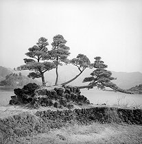 Dwarf trees on the Kawaguchi lake (Japan), March 1962. © Roger-Viollet
