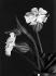 """Fleurs des champs, """"le bouillon blanc"""". © Charles Hurault / Roger-Viollet"""