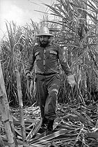 Fidel Castro (1926-2016), Cuban revolutionary and statesman, cutting the sugar cane. Cuba, circa 1960. © Gilberto Ante / Roger-Viollet