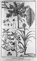 The coffee (picture 1), the sugar cane (picture 2) and the tea (picture 3). Natural history, Diderot's encyclopedia. Engraving of XVIIIth century. © Collection Roger-Viollet / Roger-Viollet