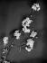 Branche d'arbre en fleurs. France, vers 1925. © Laure Albin Guillot / Roger-Viollet