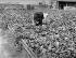 Truck farming. Pinçage melons. Parisian suburb, on 1906. BOY-795 © Jacques Boyer / Roger-Viollet