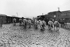 Boeufs arrivant aux abattoirs de la Villette. Paris, 1911. © Maurice-Louis Branger/Roger-Viollet
