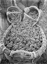 Wine growers. Grapes in big baskets. Champagne region. Mareuil-sur-Ay (France). Montebello champagne. Photograph by François Kollar (1904-1979). Paris, Bibliothèque Forney. © François Kollar/Bibliothèque Forney/Roger-Viollet