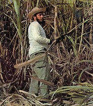 "Fidel Castro (1926-2016), Cuban revolutionary and statesman, at the ""Zafra"", cutting the sugar cane. Cuba, circa 1960. Cover of the magazine ""Bohemia"". © Gilberto Ante/BFC/Gilberto Ante/Roger-Viollet"