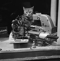 Cat in the window of a shop selling sewing machines, rue Mazarine. Paris (Vith arrondissement), July 1959. © Jean Fischer/Roger-Viollet