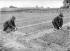 Maraîchage. Repiquage de jeunes plants de choux. Banlieue parisienne, près de Sceaux (Hauts-de-Seine), 1906. © Jacques Boyer / Roger-Viollet
