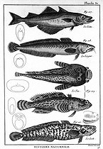 Fish Encyclopedia of Diderot. Plate 30. 1788. © Roger-Viollet