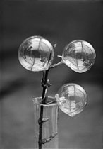 Soap bubbles sticking to a Japanese jasmine stem. 1938. © Jacques Boyer/Roger-Viollet