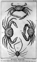 "Crabs and ""sirique"". Natural History. Encyclopedia of Diderot. Book VI, plate 58.  © Roger-Viollet"