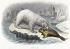 Polar bear. Engraving, XIXth century. © Roger-Viollet