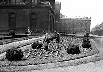 World War II. Cultivation of beans between the rue de Rivoli and the colonnade of the Louvre. Paris (Ist arrondissement), in July, 1943. © LAPI / Roger-Viollet