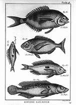Fish Encyclopedia of Diderot. Plate 48. 1788. © Roger-Viollet