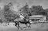 """Le prince Philip d'Edimbourg (né en 1921), participant à une partie de polo lors du concours hippique de """"Royal Windsor Horse Show Cup"""". Windsor (Angleterre), 17 mai 1964. © TopFoto/Roger-Viollet"""