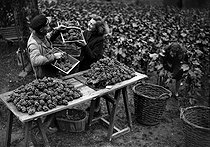 Grape harvest in Montmartre, rue des Saules. Paris, October 1941. © LAPI / Roger-Viollet
