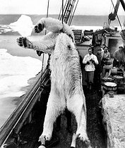 Polar bear caught off Greenland. © Roger-Viollet