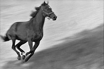 """La vie d'un cheval de courses"" (Life of a racing horse), book by Léon Zitrone (1914-1995). The horse Herbager, galloping, 1961. Photograph by Jean Marquis (1926-2019). © Jean Marquis / Roger-Viollet"