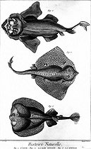 The angel fish, thornback ray and torpedo. Natural history. Encyclopedia of Diderot. Book IV, plate 52. © Roger-Viollet