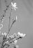 Fleurs de magnolias. © Laure Albin Guillot / Roger-Viollet