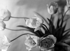 Tulipes. © Laure Albin Guillot / Roger-Viollet