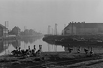 Along the river Deûle. Geese. Lille (France), 1953. Photograph by Jean Marquis (1926-2019). © Jean Marquis / Roger-Viollet