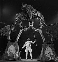 Cirque : dompteur et tigres. France, 1935. © Gaston Paris / Roger-Viollet