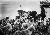 Dogs of the Danish polar mission. Greeland. © Collection Harlingue / Roger-Viollet