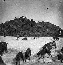 Dogs used to draw the sleighs in Greenland. © Collection Harlingue / Roger-Viollet