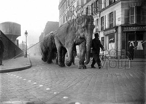Roger-Viollet | 313706 | Elephants walking in the streets of Paris. March 1941. | © LAPI / Roger-Viollet