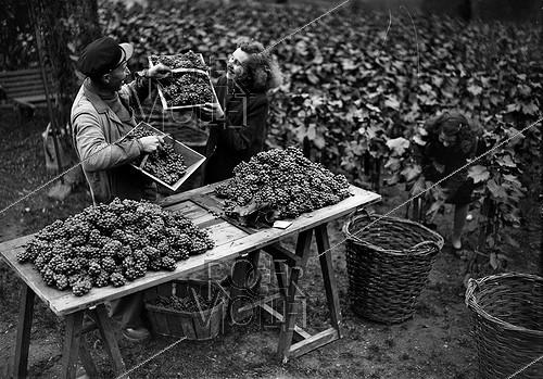 Roger-Viollet | 861456 | Grape harvest in Montmartre, rue des Saules. Paris, October 1941. | © LAPI / Roger-Viollet