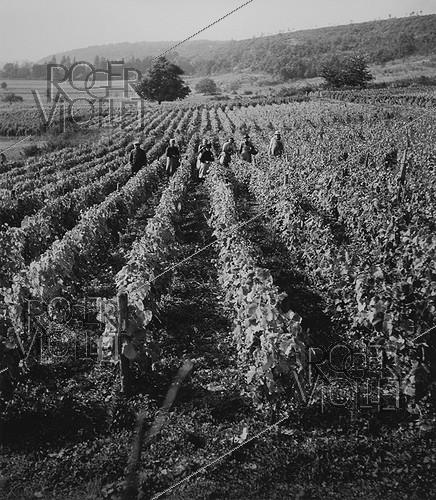 Roger-Viollet | 361460 | Grape-pickers in the vineyards, circa 1950. Photograph by Janine Niepce (1921-2007). | © Janine Niepce / Roger-Viollet