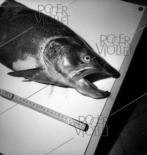Roger-Viollet | 926700 | Trout from the Risle (Normandy). | © Tony Burnand / Roger-Viollet