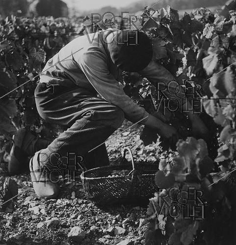 Roger-Viollet | 775965 | Young man in clogs and Basque beret looking for grapes under the leaves, circa 1950. Photograph by Janine Niepce (1921-2007). | © Janine Niepce / Roger-Viollet