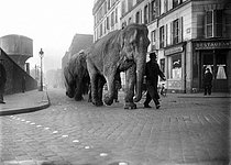 Elephants walking in the streets of Paris. March 1941. © LAPI / Roger-Viollet