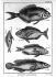 Encyclopédie de Diderot des poissons. Planche 48. 1788. © Roger-Viollet