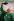 Nelson Mandela (1918-2013), président de la République d'Afrique du Sud, portant le maillot vert des Springboks, lors de la Coupe du Monde de Rugby. Afrique du Sud, 26 juin 1995. © TopFoto / Roger-Viollet