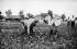 Ouvriers agricoles nord-africains en France, vers 1939. © LAPI / Roger-Viollet